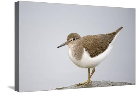Common Sandpiper (Actitis Hypoleucos) Elbe Biosphere Reserve, Lower Saxony, Germany, September-Damschen-Stretched Canvas Print
