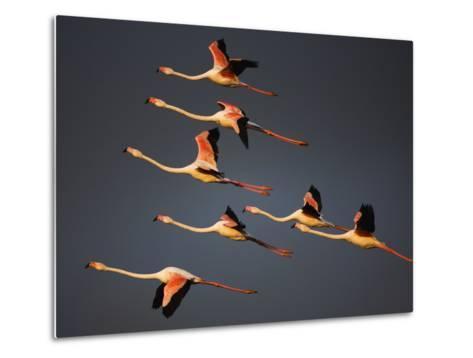 Greater Flamingos (Phoenicopterus Roseus) in Flight, Camargue, France, April 2009-Allofs-Metal Print