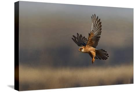 Red Footed Falcon (Falco Vespertinus) Hunting, Bagerova Steppe, Kerch Peninsula, Crimea, Ukraine-Lesniewski-Stretched Canvas Print
