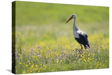 White Stork (Ciconia Ciconia) in Flower Meadow, Labanoras Regional Park, Lithuania, May 2009-Hamblin-Stretched Canvas Print