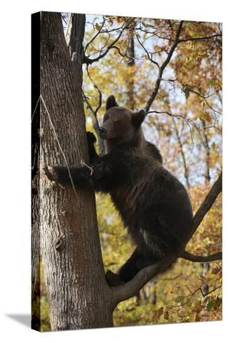 European Brown Bear (Ursus Arctos) in Tree, Captive, Private Bear Park, Near Brasov, Romania-D?rr-Stretched Canvas Print