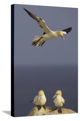 Northern Gannet (Morus Bassanus) Flying over Two on Rock, Saltee Islands, Ireland, June 2009- Green-Stretched Canvas Print