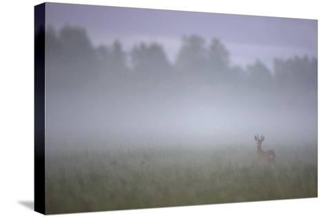 Roe Deer (Capreolus Capreolus) Buck in Wet Meadow at Dawn, Nemunas Delta, Lithuania, June 2009-Hamblin-Stretched Canvas Print