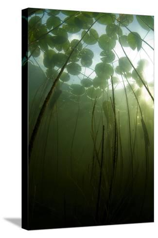 Fragrant Water Lilies (Nymphaea Odorata) Growing in Lake Skadar, Montenegro, May 2008-Radisics-Stretched Canvas Print