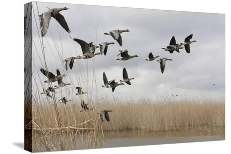 White Fronted Geese (Anser Albifrons) in Flight, Durankulak Lake, Bulgaria, February 2009-Presti-Stretched Canvas Print