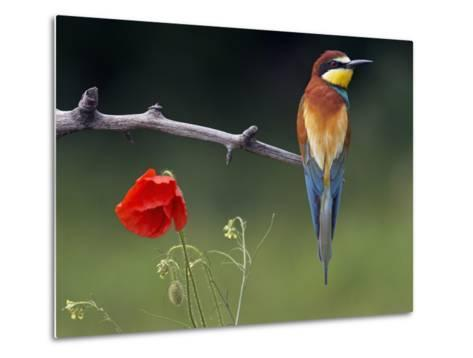 European Bee-Eater (Merops Apiaster) Perched Beside Poppy Flower, Pusztaszer, Hungary, May 2008-Varesvuo-Metal Print