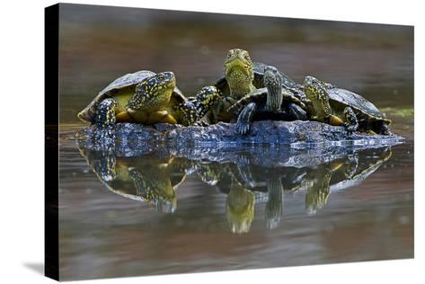 Three European Pond Turtles (Emys Orbicularis) and a Balkan Terrapin on Rock, Butrint, Albania-Geidemark-Stretched Canvas Print
