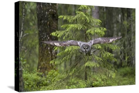 Great Grey Owl (Strix Nebulosa) in Flight in Boreal Forest, Northern Oulu, Finland, June 2008-Cairns-Stretched Canvas Print