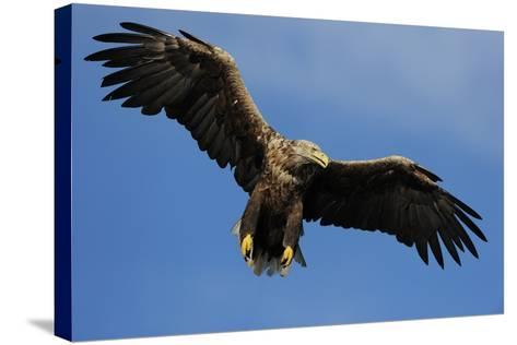 White Tailed Sea Eagle in Flight, North Atlantic, Flatanger, Nord-Trondelag, Norway, August-Widstrand-Stretched Canvas Print