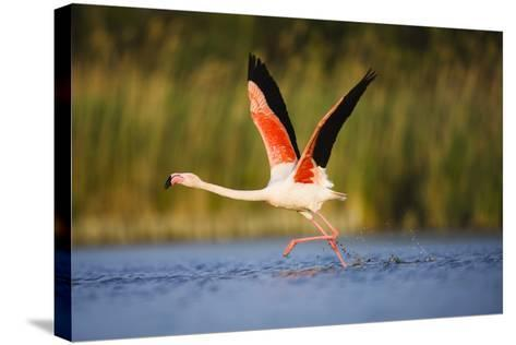 Greater Flamingo (Phoenicopterus Roseus) Taking Off from Lagoon, Camargue, France, May 2009-Allofs-Stretched Canvas Print