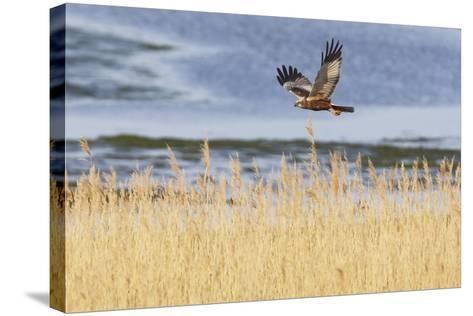 Marsh Harrier (Circus Aeruginosus) in Flight over Reedbeds, Texel, Netherlands, May 2009- Peltomäki-Stretched Canvas Print