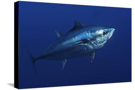 Atlantic Bluefin Tuna (Thunnus Thynnus) Portrait, Captive, Malta, Mediteranean, May 2009-Zankl-Stretched Canvas Print