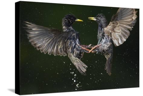 Two Common Starlings (Sturnus Vulgaris) Fighting, Pusztaszer, Hungary, May 2008-Varesvuo-Stretched Canvas Print