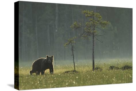 Eurasian Brown Bear (Ursus Arctos) in Early Evening, Kuhmo, Finland, July 2008-Widstrand-Stretched Canvas Print