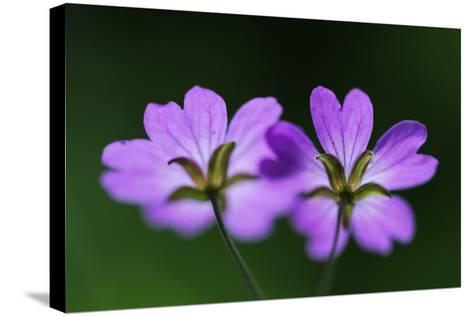 Two Hedgerow Cranesbills (Geranium Pyrenaicum) Flowers, Larochette, Mullerthal, Luxembourg, May- Tønning-Stretched Canvas Print
