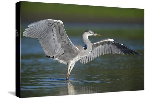 Grey Heron with Wings Out Stretched, Elbe Biosphere Reserve, Lower Saxony, Germany, September-Damschen-Stretched Canvas Print