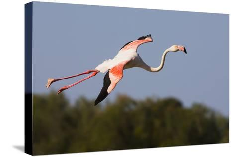 Greater Flamingo (Phoenicopterus Roseus) in Flight, Camargue, France, May 2009-Allofs-Stretched Canvas Print