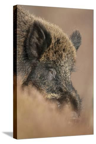 Wild Boar (Sus Scrofa) Alladale Wilderness Reserve, Scotland, March 2009-Cairns-Stretched Canvas Print