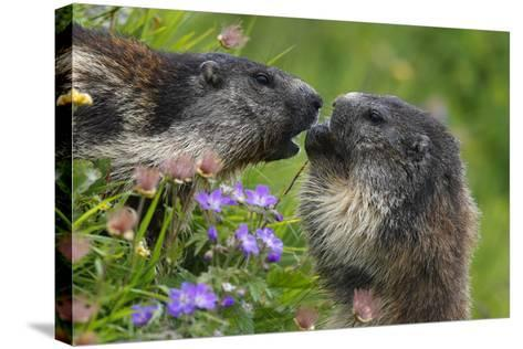 Alpine Marmots (Marmota Marmota) Feeding on Flowers, Hohe Tauern National Park, Austria-Lesniewski-Stretched Canvas Print