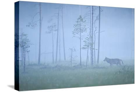 Wild European Grey Wolf (Canis Lupus) Silhoutted in Mist, Kuhmo, Finland, July 2008-Widstrand-Stretched Canvas Print