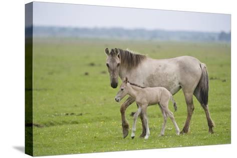 Konik Horse, Mare with Young Foal, Oostvaardersplassen, Netherlands, June 2009-Hamblin-Stretched Canvas Print