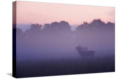 Red Deer Stag Calling During Rut, Light Mist at Sunrise, Klampenborg Dyrehaven, Denmark-M?llers-Stretched Canvas Print