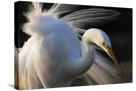 Great Egret (Ardea Alba) Pusztaszer, Hungary, May-Varesvuo-Stretched Canvas Print