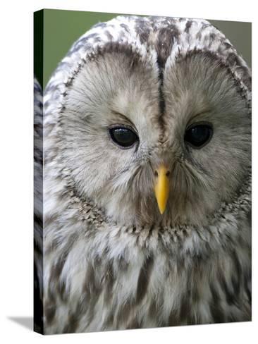 Ural Owl (Strix Uralensis) Portrait, Bergslagen, Sweden, June 2009-Cairns-Stretched Canvas Print