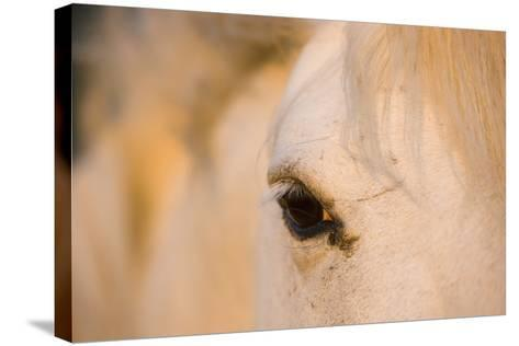 White Camargue Horse Close-Up of Head, Camargue, France, May 2009-Allofs-Stretched Canvas Print
