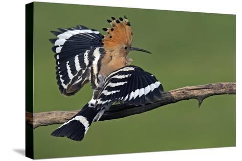 Hoopoe (Upupa Epops) Landing on Branch, Hortobagy Np, Hungary-Varesvuo-Stretched Canvas Print