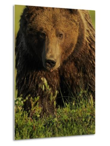 European Brown Bear (Ursus Arctos) Kuhmo, Finland, July 2009-Widstrand-Metal Print