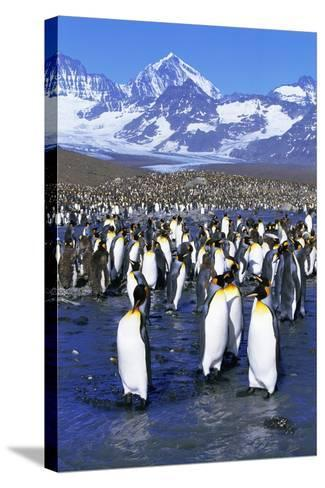 King Penguin Colony-Paul Souders-Stretched Canvas Print