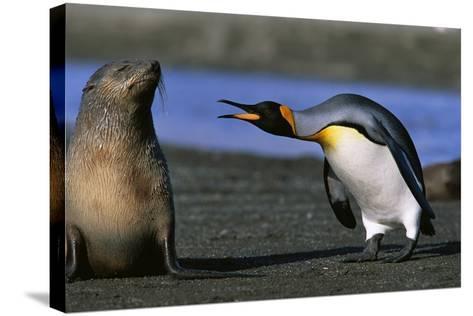 King Penguin Confronting Unconcerned Fur Seal-Paul Souders-Stretched Canvas Print