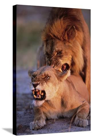 Lions Snarling While Mating-Paul Souders-Stretched Canvas Print