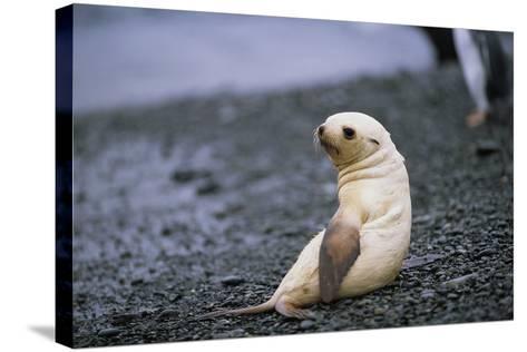Antarctic Fur Seal Pup-Paul Souders-Stretched Canvas Print