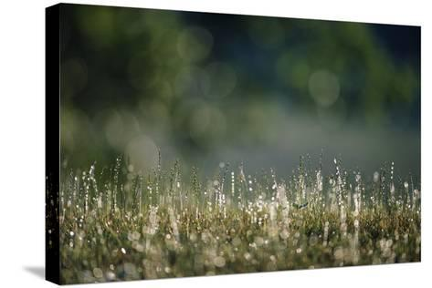Morning Dew on Grass-Paul Souders-Stretched Canvas Print