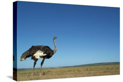 Ostrich in a Pasture-Paul Souders-Stretched Canvas Print