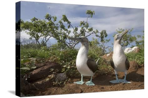 Pair of Blue-Footed Boobies-Paul Souders-Stretched Canvas Print