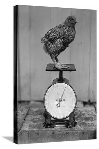 Bird Standing on Weight Scale--Stretched Canvas Print