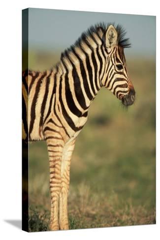 Plains Zebra at Sunset-Paul Souders-Stretched Canvas Print