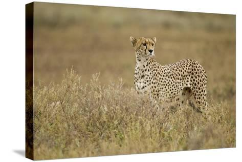 Cheetah, Ngorongoro Conservation Area, Tanzania-Paul Souders-Stretched Canvas Print