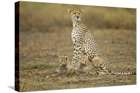 Cheetah Cubs and their Mother-Paul Souders-Stretched Canvas Print