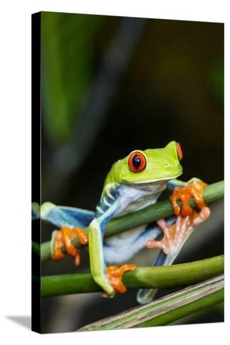 Red Eyed Tree Frog, Costa Rica-Paul Souders-Stretched Canvas Print