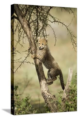 Cheetah Cub at Ngorongoro Conservation Area, Tanzania-Paul Souders-Stretched Canvas Print
