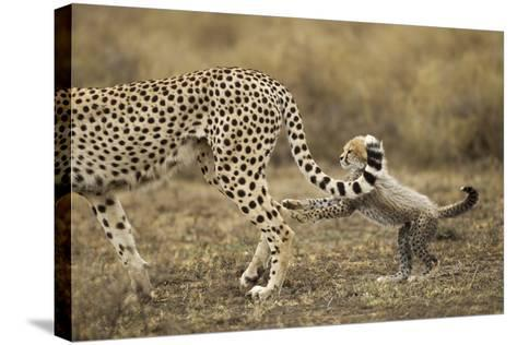 Cheetah Cub and Mother-Paul Souders-Stretched Canvas Print