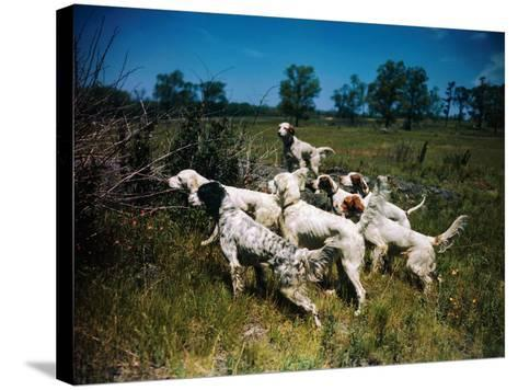 Hunting Dogs on Point--Stretched Canvas Print