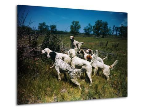 Hunting Dogs on Point--Metal Print