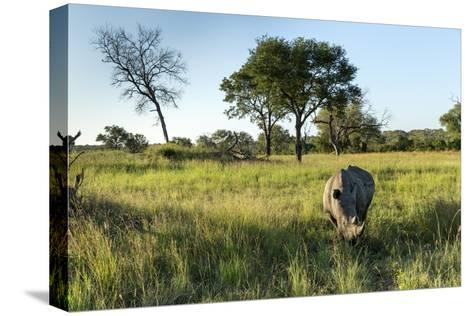 White Rhinoceros, Sabi Sabi Reserve, South Africa-Paul Souders-Stretched Canvas Print