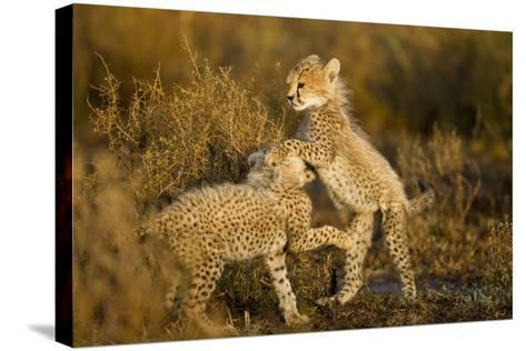 Playing Cheetah Cubs-Paul Souders-Stretched Canvas Print