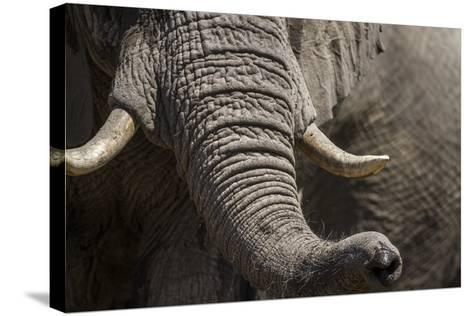 Bull Elephant Trunk and Tusks, Makgadikgadi Pans National Park, Botswana-Paul Souders-Stretched Canvas Print